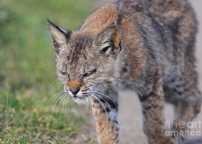 Animal Greeting Card featuring the photograph Young Bobcat 03 by Wingsdomain Art and Photography