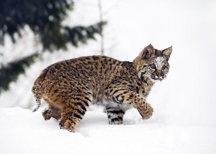Anger Greeting Card featuring the photograph Young Bobcat Playing In Snow by Melody Watson