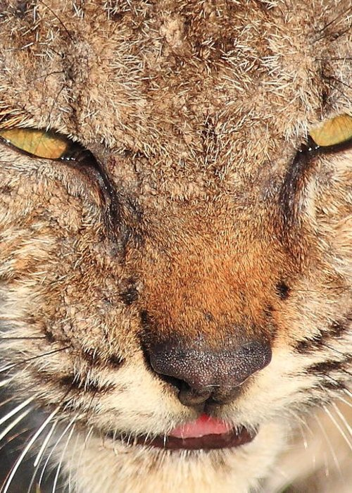 Animal Greeting Card featuring the photograph Young Bobcat Portrait 01 by Wingsdomain Art and Photography