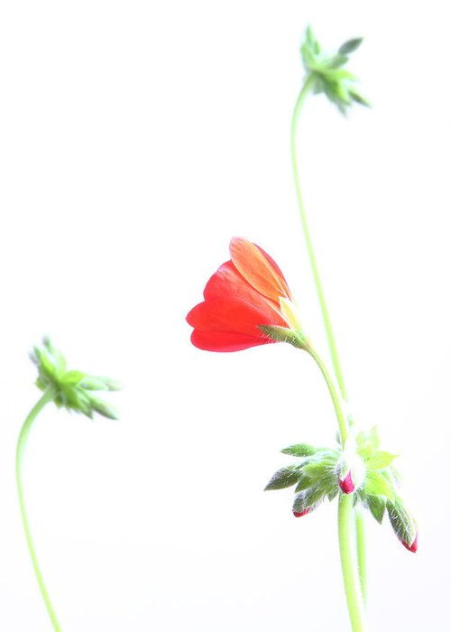 Geranium Greeting Card featuring the photograph Young Geranium Fine Art Photography Print by James BO Insogna