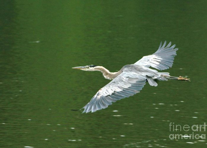 Landscape Nature Wildlife Bird Crane Heron Green Flight Ohio Water Greeting Card featuring the photograph Young Great Blue Heron Taking Flight by Dawn Downour
