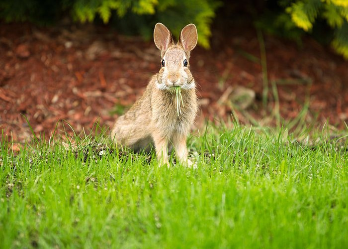 Rabbit Greeting Card featuring the photograph Young Healthy Wild Rabbit Eating Fresh Grass From Yard by Thomas Baker