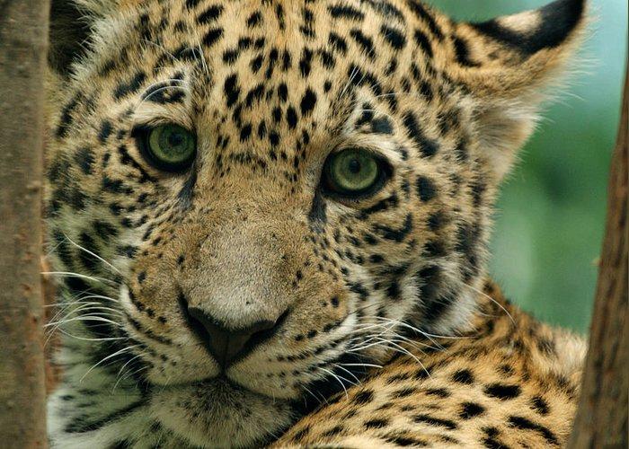 Jaguar Greeting Card featuring the photograph Young Jaguar by Sandy Keeton