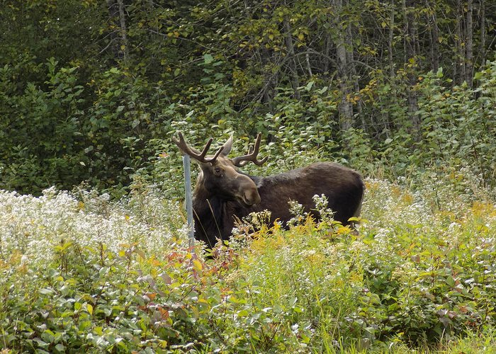Moose Greeting Card featuring the photograph Young Male Moose by William Tasker