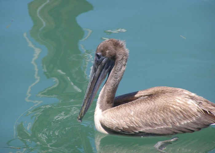 Pelicans Greeting Card featuring the photograph Young Pelican by Jim Cooper