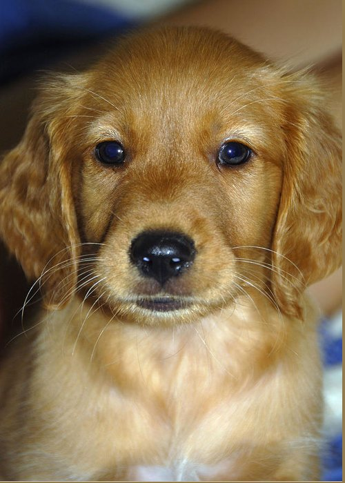 Puppy Greeting Card featuring the photograph Young Sam by Stephen Anderson