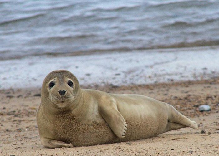 Seal Greeting Card featuring the photograph Young Seal Pup On Beach - Horsey, Norfolk, Uk by Gordon Auld