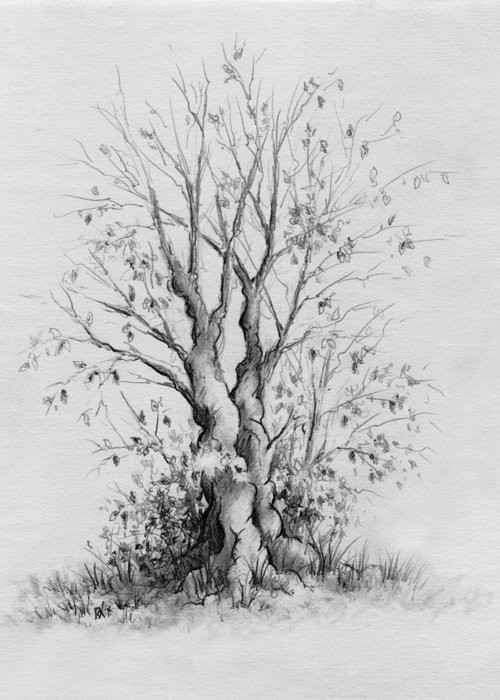 Pencil Greeting Card featuring the drawing Young Tree by Rachel Christine Nowicki