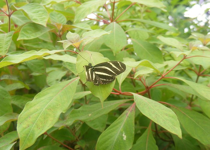 Zebra Greeting Card featuring the photograph Zebra Longwing Butterfly by James and Vickie Rankin