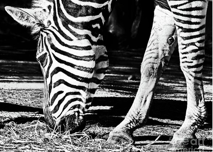 Zebra Eating Greeting Cards