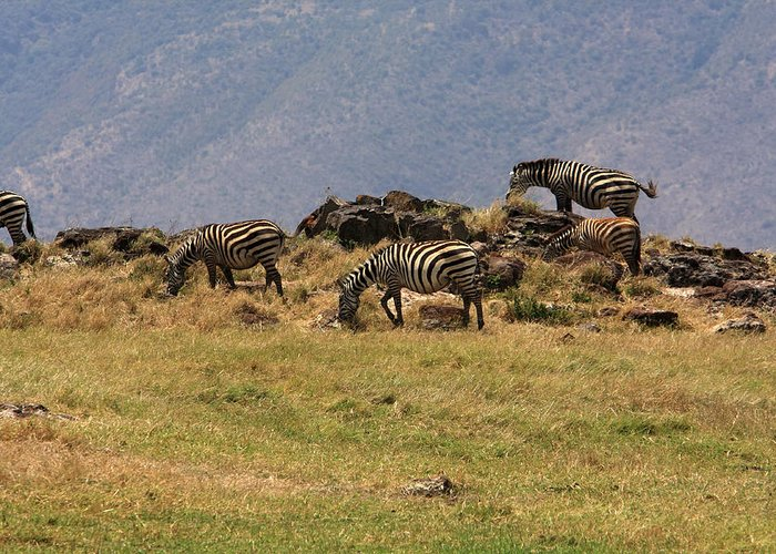 Zebra Greeting Card featuring the photograph Zebras In The Ngorongoro Crater, Tanzania by Aidan Moran
