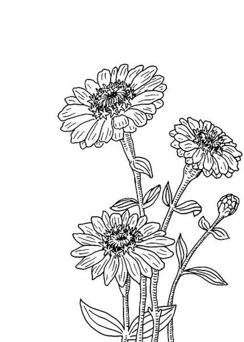 Zinnia Flower Botanical Drawing Greeting Card For Sale By Irina Sztukowski
