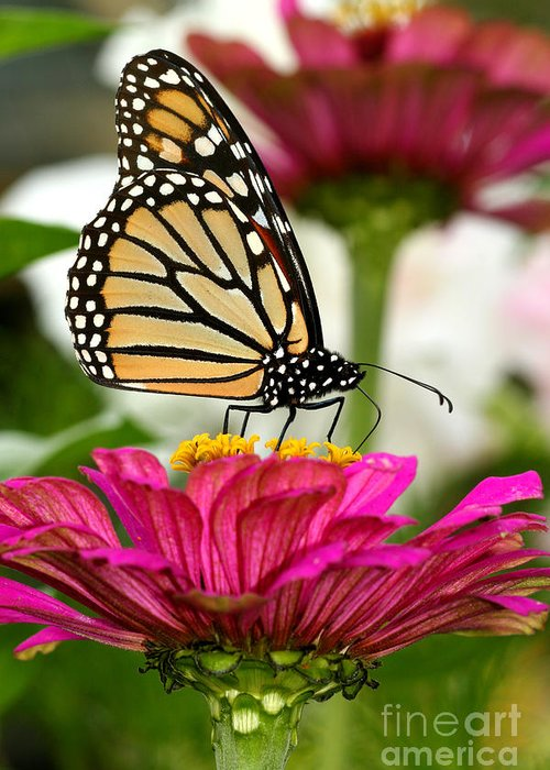 Monarch Greeting Card featuring the photograph Zinnia Rose And Monarch by Steve Augustin