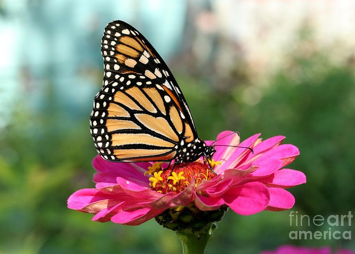 Monarch Butterfly Greeting Card featuring the photograph Zinnia With The Monarch by Steve Augustin