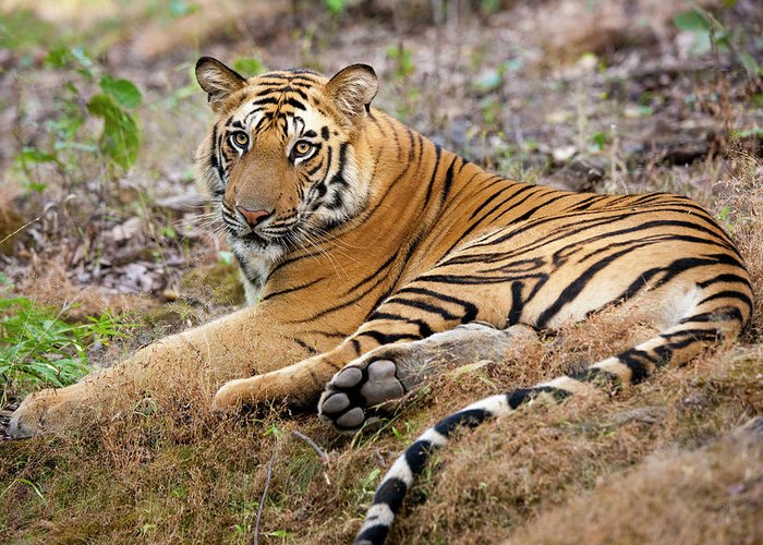 Looking Over Shoulder Greeting Card featuring the photograph An Adult Tiger In Bandhavgarh National by Mint Images - Art Wolfe