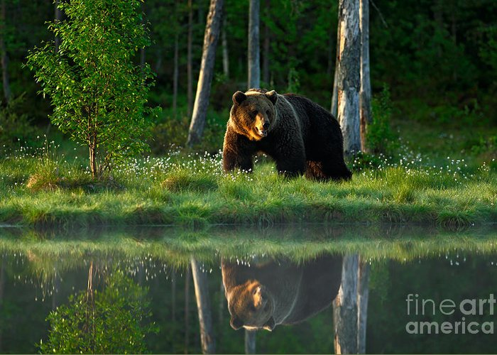 Big Greeting Card featuring the photograph Big Brown Bear Walking Around Lake In by Ondrej Prosicky
