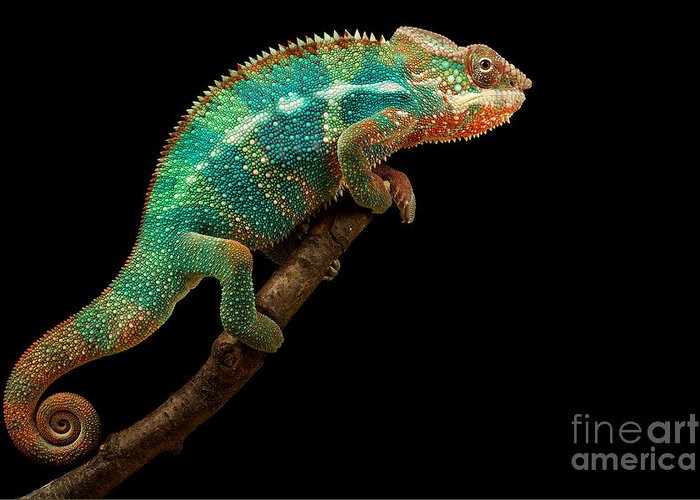 Small Greeting Card featuring the photograph Chameleon by Mark Bridger