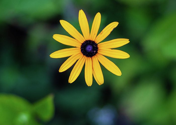 Kings Gap Daisy Patch Flowers Pennsylvania Black-eyed Susans Greeting Card featuring the photograph Black-eyed Susan by John Daly