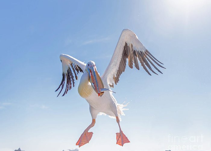 Feather Greeting Card featuring the photograph Great White Pelican Catches Fish Thrown by Vadim Petrakov