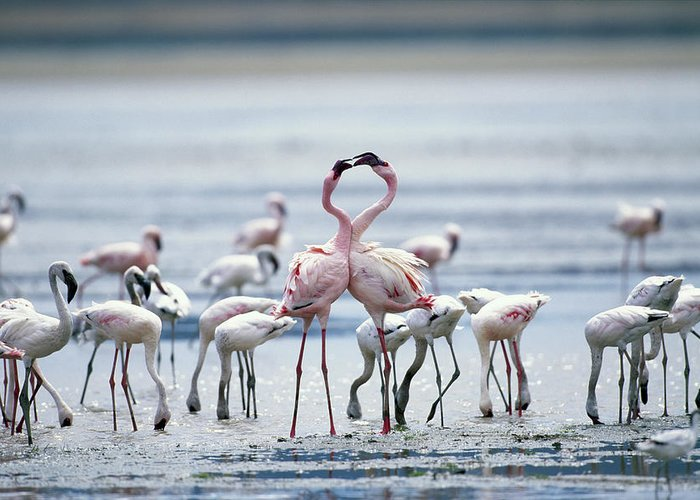Tanzania Greeting Card featuring the photograph Lesser Flamingoes Phoeniconaias Minor by Paul Souders