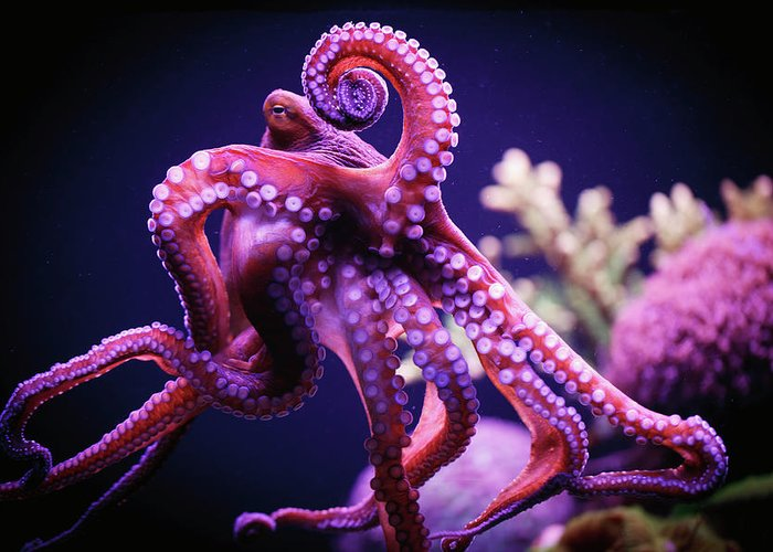 Underwater Greeting Card featuring the photograph Octopus by Reynold Mainse / Design Pics