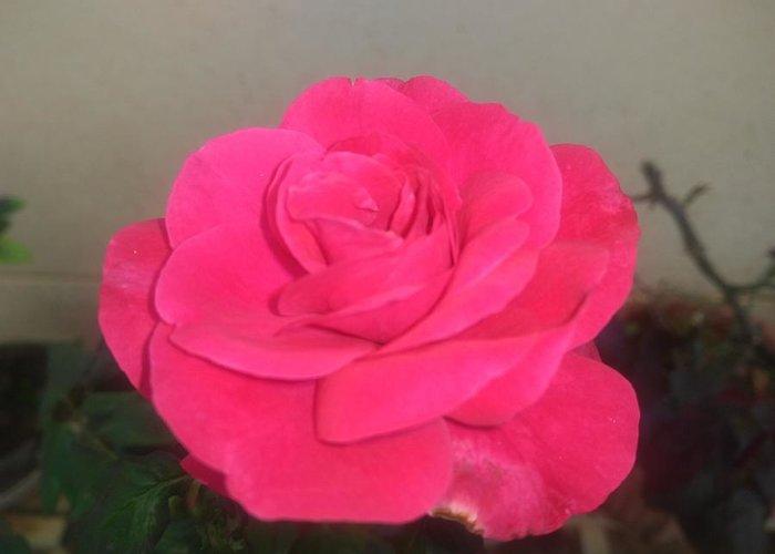 Greeting Card featuring the photograph Pink Rose by Nimu Bajaj and Seema Devjani