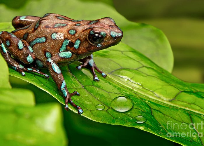 Dendrobates Greeting Card featuring the photograph Poison Dart Frog Dendrobates Auratus by Dirk Ercken