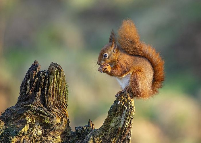 Squirell Greeting Card featuring the photograph Red Squirrel by Ray Cooper