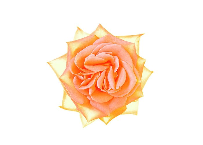Orange Color Greeting Card featuring the photograph Rose Flower by Nicholas Rigg