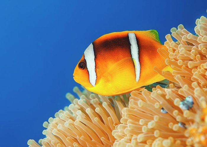 Underwater Greeting Card featuring the photograph Sea Life - Anemone Clownfish by Ultramarinfoto