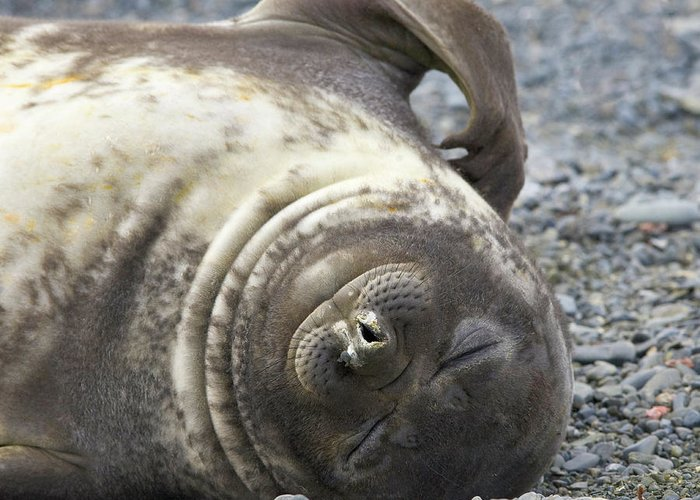 South Georgia Island Greeting Card featuring the photograph Southern Elephant Seal Weaner Pup by Eastcott Momatiuk