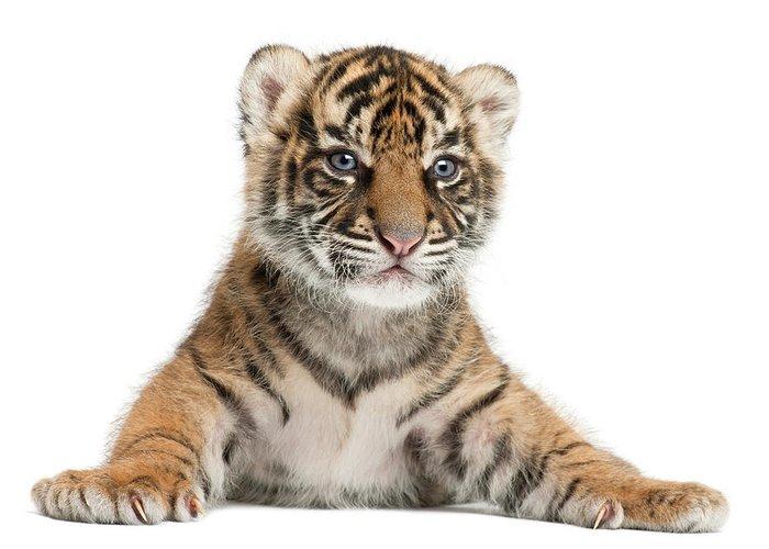 White Background Greeting Card featuring the photograph Sumatran Tiger Cub - Panthera Tigris by Life On White
