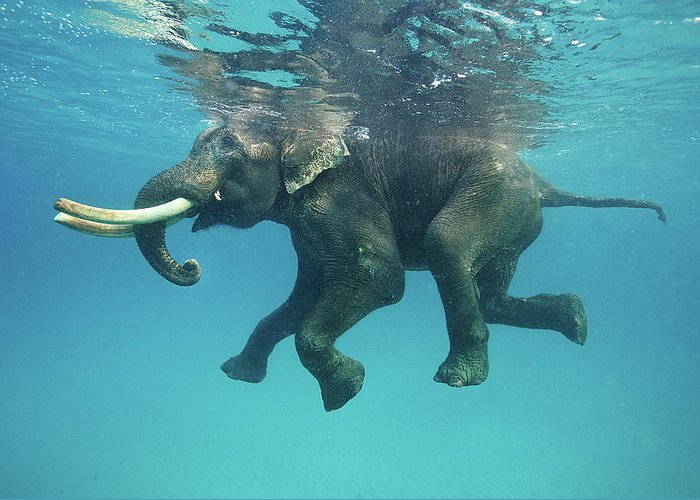 Underwater Greeting Card featuring the photograph Swimming Elephant by Mike Korostelev Www.mkorostelev.com