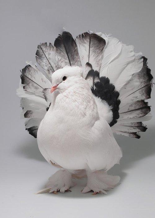 [Obrazek: 1-white-and-black-indian-fantail-pigeon-...abbott.jpg]