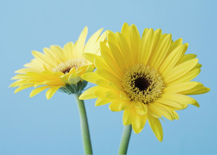 Two Objects Greeting Card featuring the photograph Yellow Flowers On Blue Background by Kristin Lee