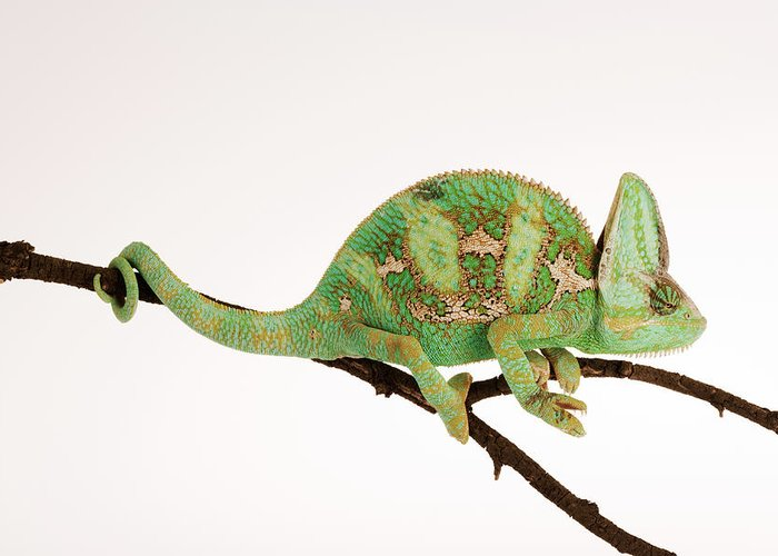 White Background Greeting Card featuring the photograph Yemen Chameleon Sitting On Branch by Martin Harvey