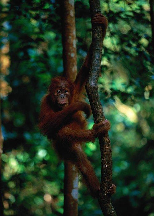 Southeast Asia Greeting Card featuring the photograph Young Sumatran Orangutan Pongo Pongo by Art Wolfe