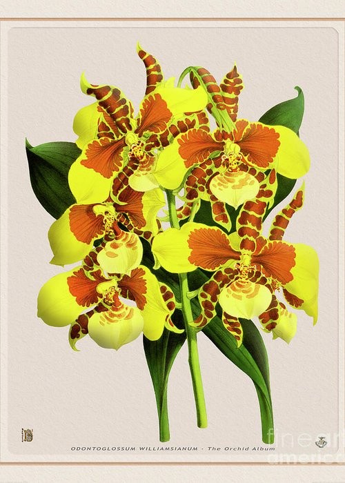Vintage Greeting Card featuring the drawing Orchid Vintage Print On Tinted Paperboard by Baptiste Posters
