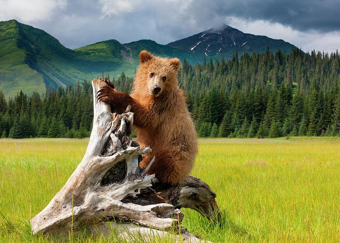 Brown Bear Greeting Card featuring the photograph Brown Bear, Lake Clark National Park by Mint Images/ Art Wolfe