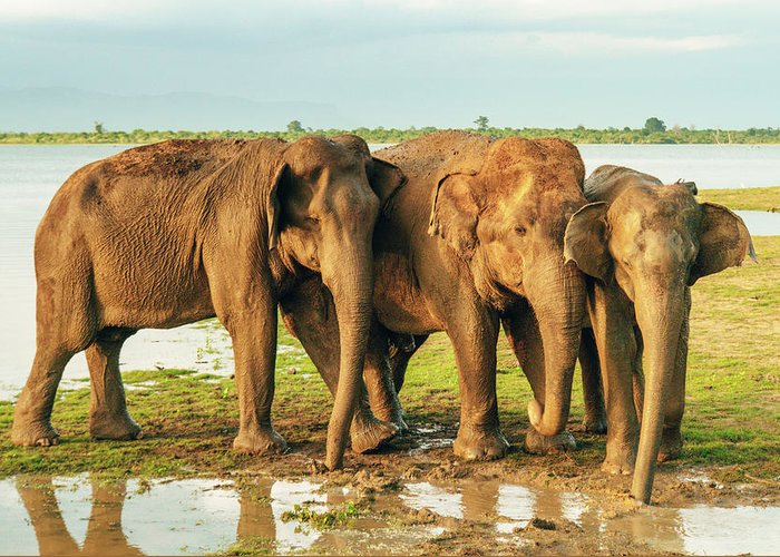 Elephant Greeting Card featuring the photograph Elephants - Three Best Friends 2 by Max Blumenthal