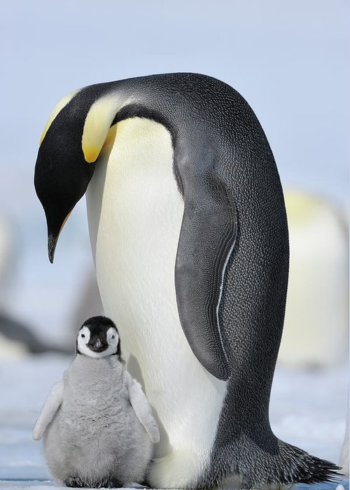 Emperor Penguin Greeting Card featuring the photograph Emperor Penguin by Raimund Linke