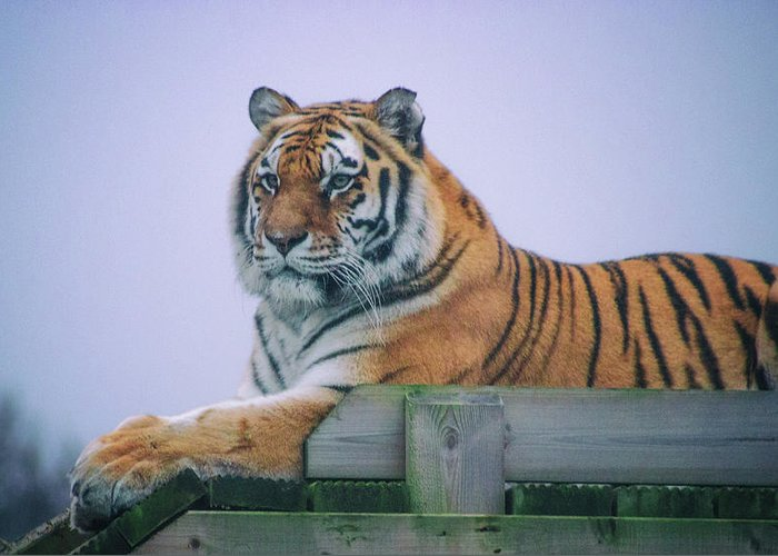 Tiger Greeting Card featuring the photograph Amur Tiger by Martin Newman