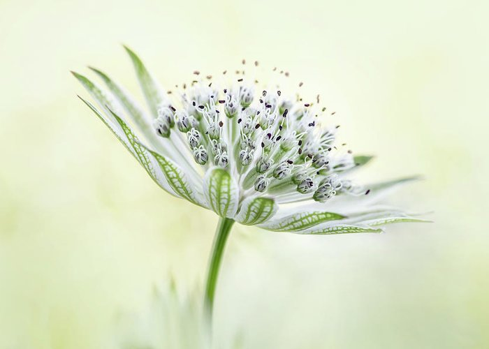 Designs Similar to ~astrantia~ by Mandy Disher