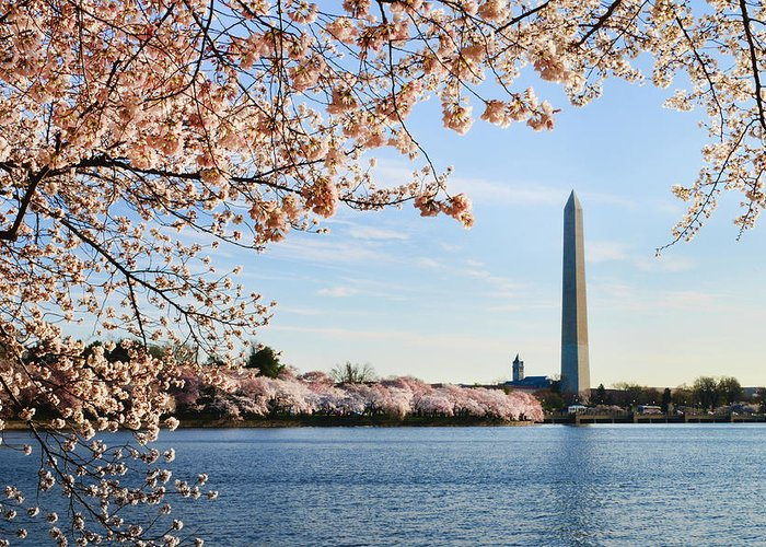 Tidal Basin Greeting Card featuring the photograph Washington Dc Cherry Blossoms And by Ogphoto
