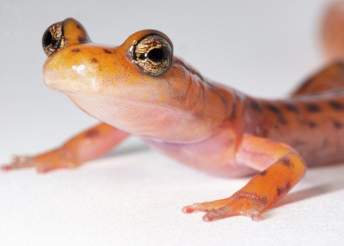 Aberrant Color Morph Greeting Card featuring the photograph Cave Salamander, Eurycea Lucifuga by Dante Fenolio