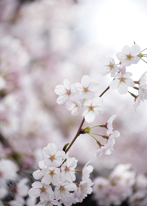 Celebration Greeting Card featuring the photograph Cherry Blossoms by Ooyoo