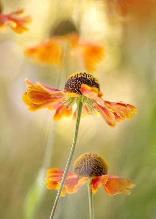 Helenium Photograph By Mandy Disher