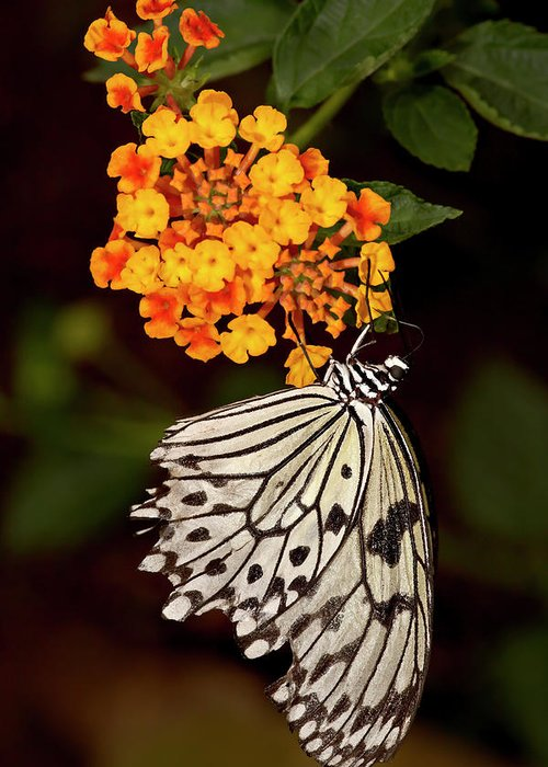 Large Tree Nymph (paper Kite) (white Tree Nymph) (rice Paper Butterfly) (idea Leuconoe) In Captivity Greeting Card featuring the photograph 764-2466 by Robert Harding Picture Library