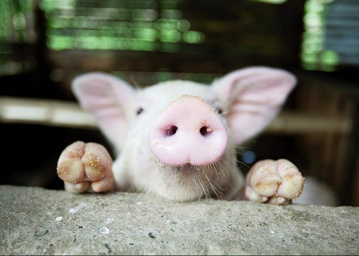 Negros Oriental Greeting Card featuring the photograph A Baby Pig In Its Pen by Design Pics / Deddeda
