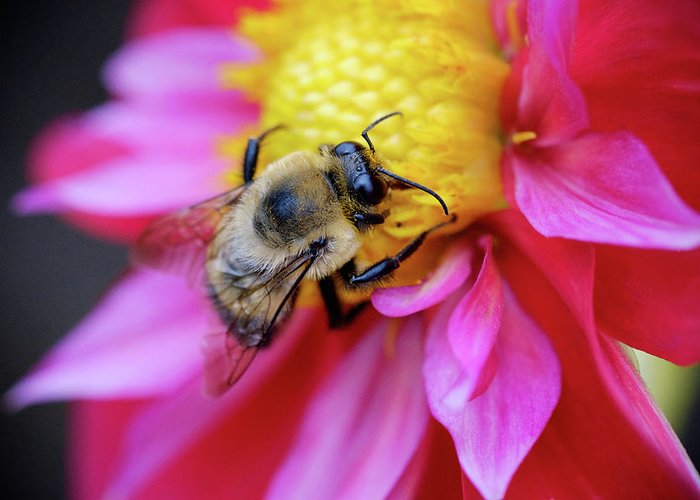 Dahlia Greeting Card featuring the photograph A Bumblebee On A Flower by Nicole Young